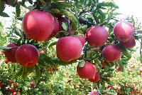 苹果批发价格 红星苹果产地批发