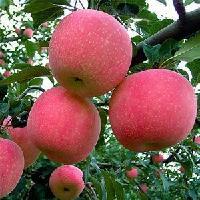 山东红富士苹果批发 全年供应