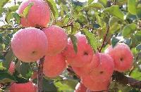 山东红富士苹果批发产地 价格*走势