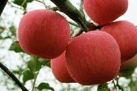 山东苹果批发价是多少