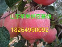 红富士苹果批发基地 山东临沂