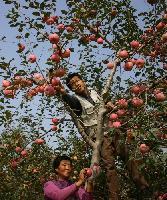 嘎拉苹果批发价格
