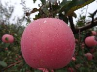 红星苹果产地批发价格