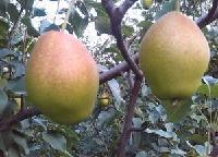 陕西大荔县冷库红香酥梨丰收了红香酥梨批发价格