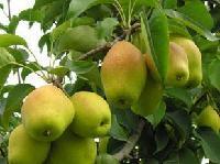 陕西红香酥梨基地/红香酥梨产地价格