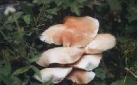 野生白银盘菇