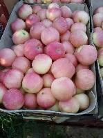 陕西苹果产地、优质红星,红富士苹果、不零售 批发便宜