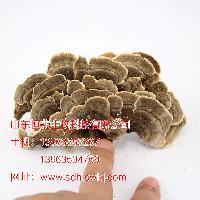 产地直销广东省深圳市椴木灵芝 云灵芝 优质保量