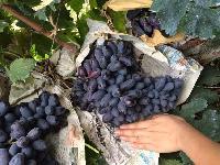 批发山东紫填无核葡萄苗新品种