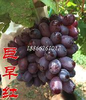 批发巨早红葡萄苗新品种早熟品种葡萄苗