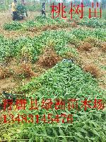 2016年河北省桃树苗批发价格