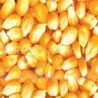 常年求购玉米 菜饼 麸皮
