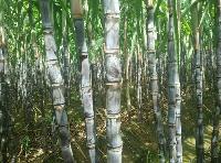 优质甘蔗 黑皮甘蔗批发 自家种的