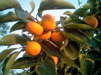 日本大甜柿大量上市了