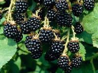 黑莓提取物 黑莓粉 厂家现货包邮
