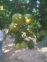 琯脐蜜柚上市批发价格