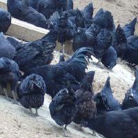 绿壳蛋鸡 营养价值高 成活率高 厂家直销 全国包邮