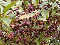 天然 乌饭树叶提取物   热销中