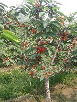 矮化樱桃苗美早樱桃苗品种果大12克有甜度