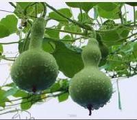 天然葫芦壳纯粉,厂家直销,基地种植!