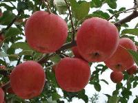 28苹果基地大量现货*装货价格