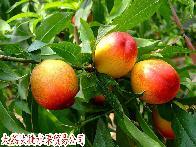 126油桃批发价格  126油桃批发什么价格