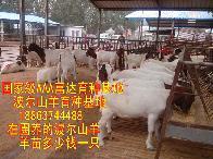 全国各地活羊价格