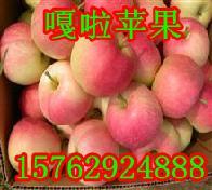 山东苹果产地嘎啦苹果价格