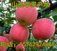 山东苹果产地苹果批发价格