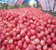 今日最新红富士苹果价格