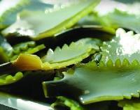岩藻黄质10% 海带提取物