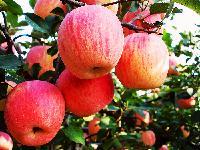 膜袋红富士苹果