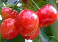 烟台海阳大樱桃