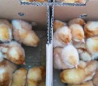 巴布考克B380鸡苗