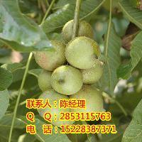 川早核桃苗,最容易种植的核桃苗品种,川早2号