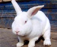 养50只獭兔的利益是多少獭兔养殖成本