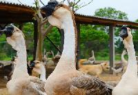 纯种狮头鹅苗价格¥¥¥¥