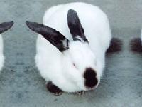 定结肉兔品种比利时兔价格