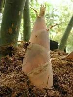 广东揭阳鲜竹笋