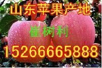 山东红富士苹果产地批发