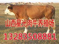 大同卖西门塔尔肉牛