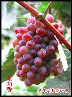 供应辽阳出售着色香葡萄苗,吉林鞍山出售着色香葡萄苗