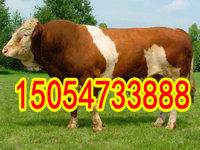 西门塔尔牛肉价格