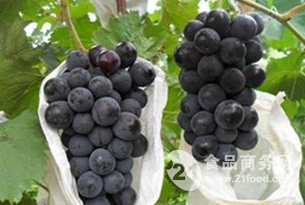 特别适合北方地区的早熟大棚葡萄苗品种