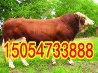 夏洛莱牛的价格