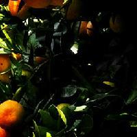 大量批发早熟蜜桔