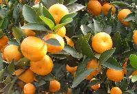 湖北柑橘/柑橘/湖北宜昌柑橘代办