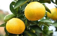 柑桔新品種 甜桔柚