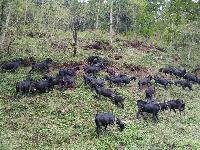 黑山羊种羊价格