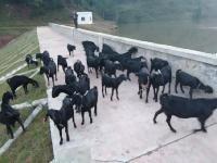 黑山羊羊苗价格,金堂黑山羊,努比亚黑山羊,